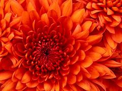 Chrysanthemum_Flower