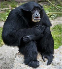 Howler Monkey     (female)