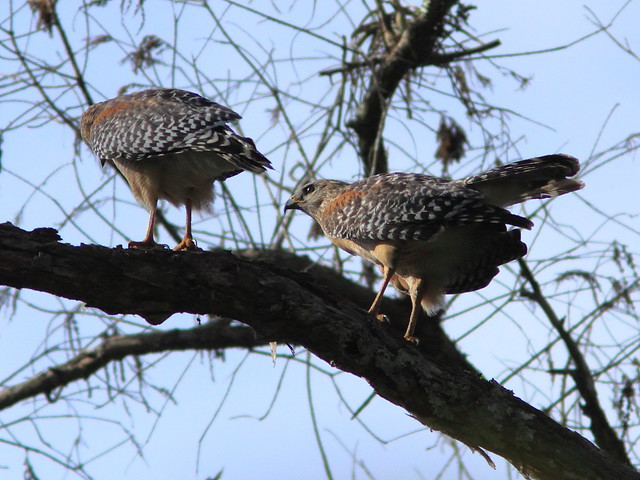 Red-shouldered hawks courtship 20120131