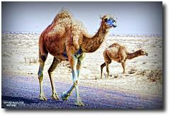 CAMEL'S FROM KUWAIT DESERT