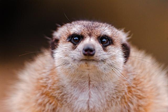Funny meerkat pictures - photo#23