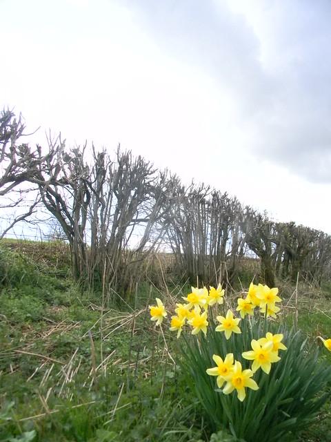 Daffs'n'hedge