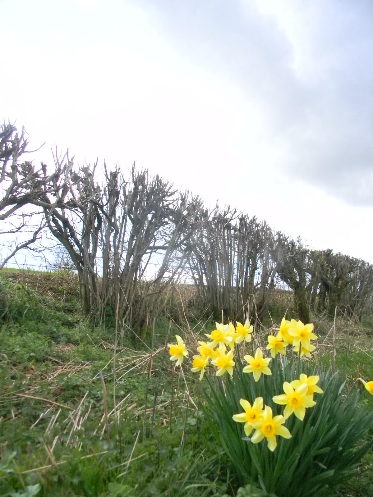 Daffs'n'hedge Lenham to Hollingbourne