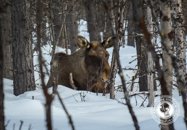 A Moose Safari Via Icelandic Horse - Wild Moose In Swedish Lapland