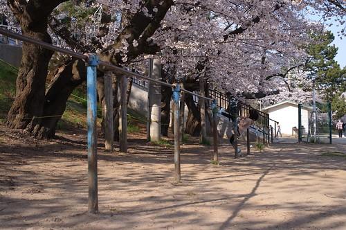 内野の桜 2014