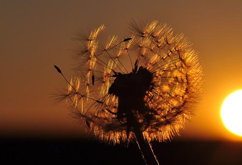 Dandelion Pusteblume Blowball
