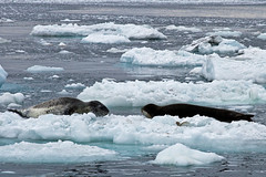 21816-Leopard-seals-on-iceb