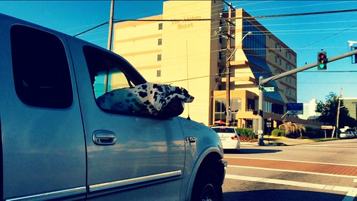 Cow Dog at Oceanfront (May 22 2015)