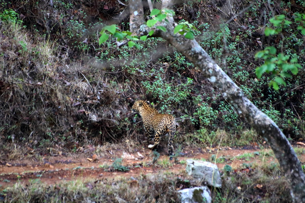 Leopard spotted!