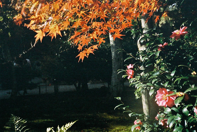 天龍寺的楓葉與茶花