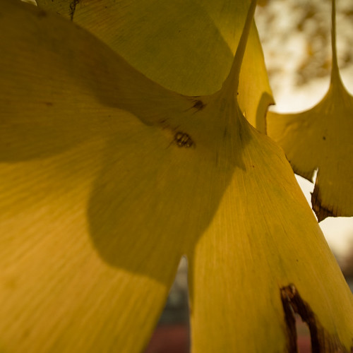 Ginko Autumn Leaf Shadow Play