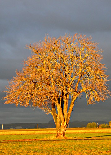 12-15-11 Golden Tree by roswellsgirl