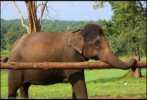 Elephant in line for For