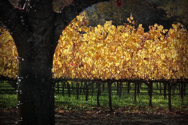 Gold Vines