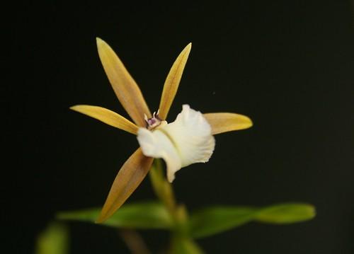 Encyclia polybulbon flower