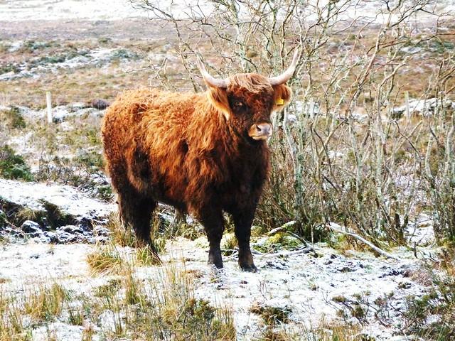 Highland Cow, Isle of Skye, Scotland