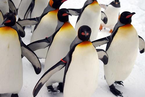 ペンギン散歩2