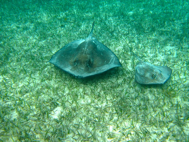 sting rays in belize