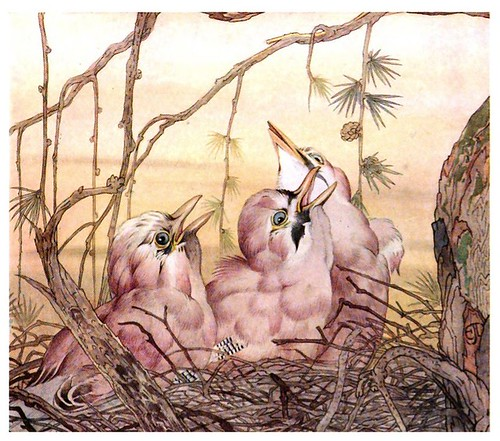 041- El arrendajo-The book of baby birds 1912- Ilustrado por Edward Detmold- Hatchi Trust Digital library