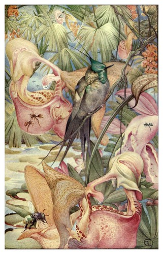 047-Coryanthes Maculata-News of spring and other nature studies 1917- Ilustrado por Edward J. Detmold by ayacata7