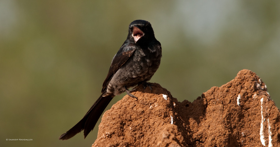 Black Drongo - Immature