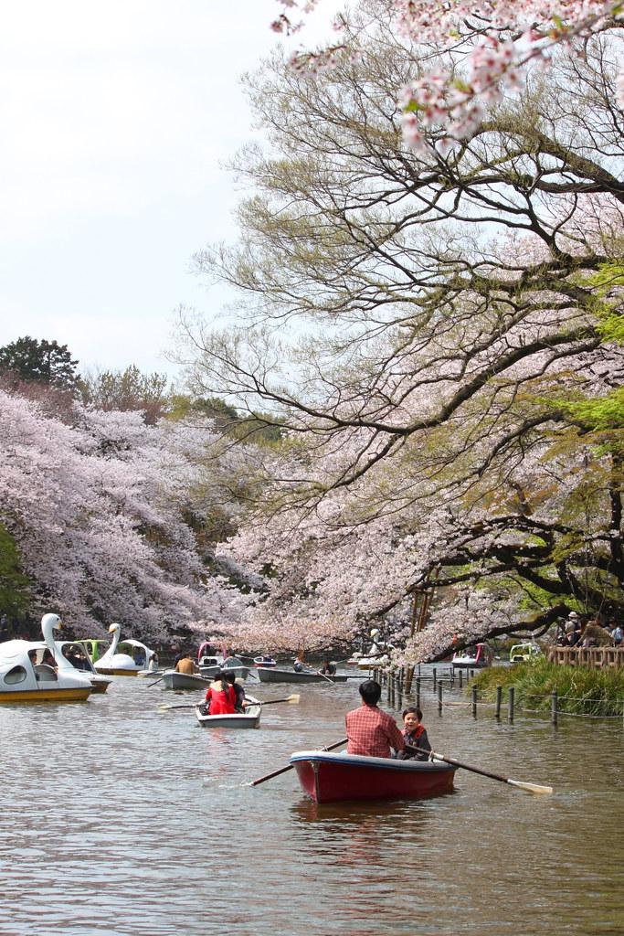 Sakura Photo 2011Inokashira Park (5)
