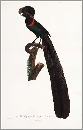 008-Pastel del paraiso-Histoire naturelle des Oiseaux de paradis et des Rolliers.. 1806-François Levaillant