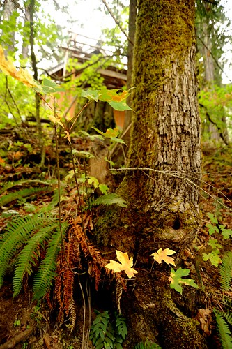 Two yellow oak leaves, a natural patch of earth, tree, knot hole, ferns, Breitenbush Hot Springs, Breitenbush, Marion County, Oregon, USA by Wonderlane