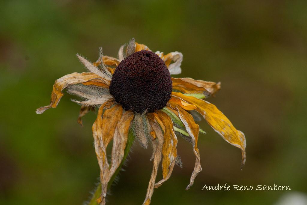 Black-eyed Susan (Rudbeckia hirta)-3.jpg