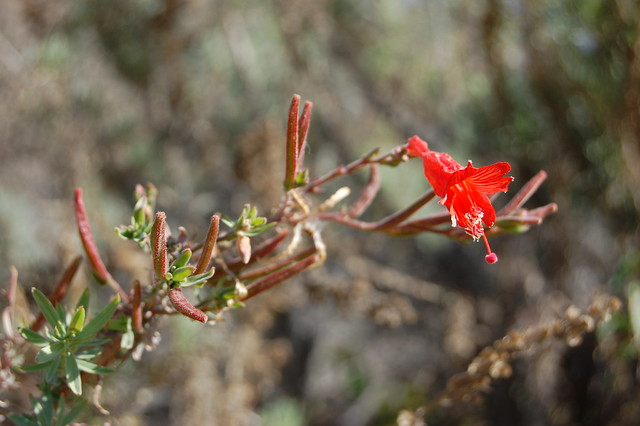 Epilobium canum (synonym Zauschneria californica) - California Fuchsia