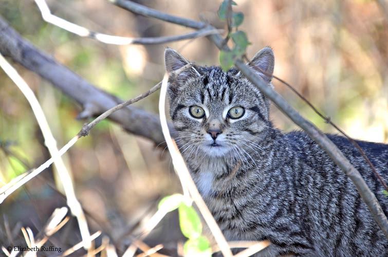 Tabby kitten living in a feral colony, photo by Elizabeth Ruffing