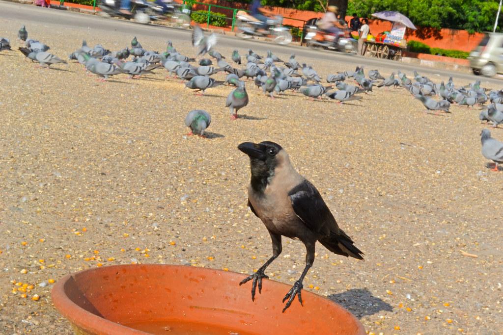 Голубей в Джайпуре так много, что вороны смотрятся белыми воронами.
