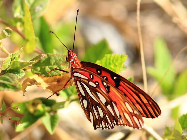 Gulf Fritillary 2-20111229