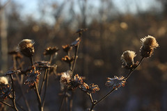 Ironweed gone to seed