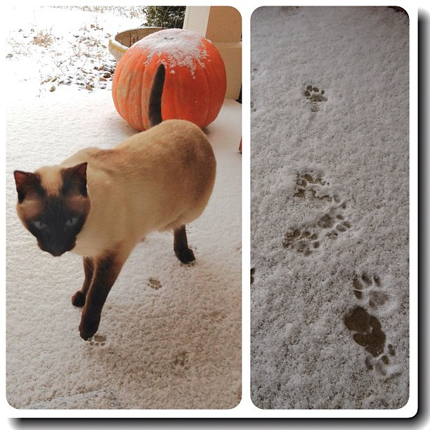 Tentative Steps #snow #cat #siamese #diptych #P365-2012