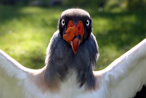 無料写真素材, 動物 , 鳥類, コンドル, トキイロコンドル