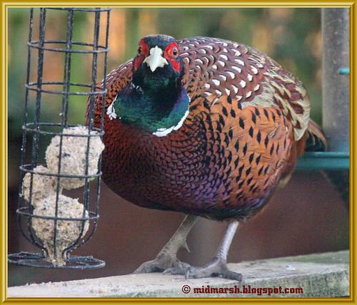 Pheasant 11
