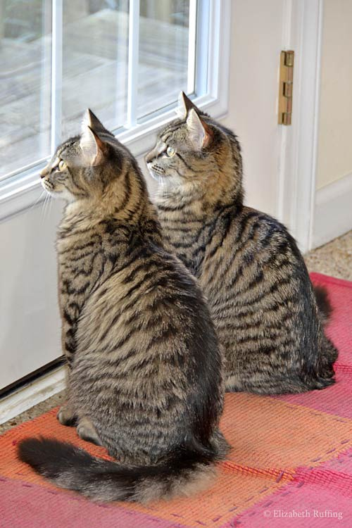 Tabby kittens birdwatching at the door, photo by Elizabeth Ruffing