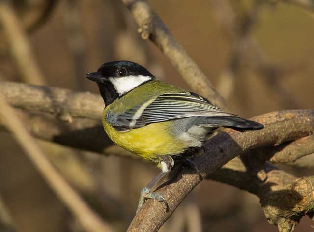 great tit 7