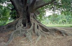 GIANT tree at Lalbagh Garden