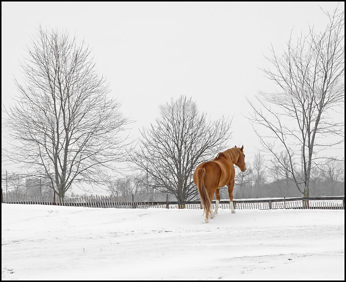 Chesnut in the Snow