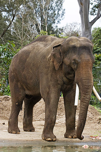 400px-Asian_elephant_-_melbourne_zoo