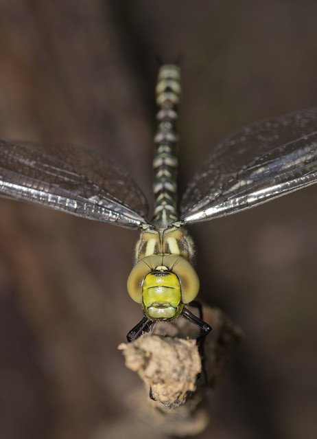 Southern hawker close up 14