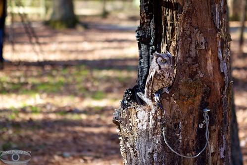 Carolina Raptor Center Screech Owl 651