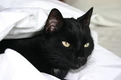 Pooka Cat