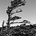 Lone Pine, Grandfather Mountain, NC