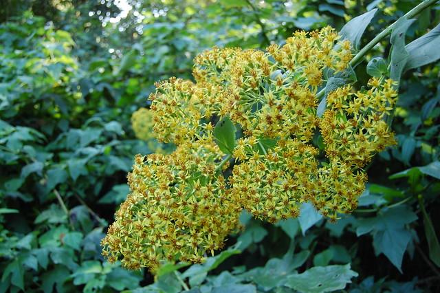 Roldana chapalensis - Groundsel
