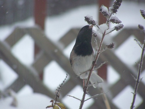 jan 135 Junco perching on mint plant eating snow