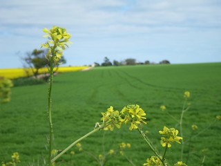 Stray Canola