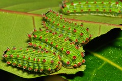 Stinging Nettle Slug Caterpillars (Cup Moth, Limacodidae)